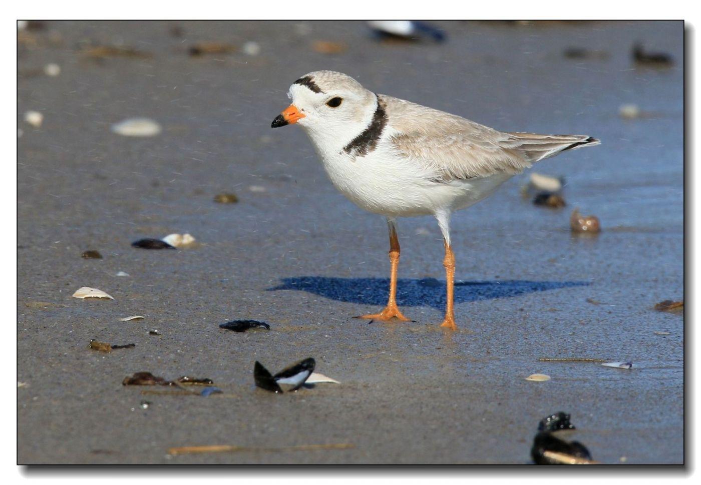 洛克威海滩拍鸟—环颈鸻_图1-6