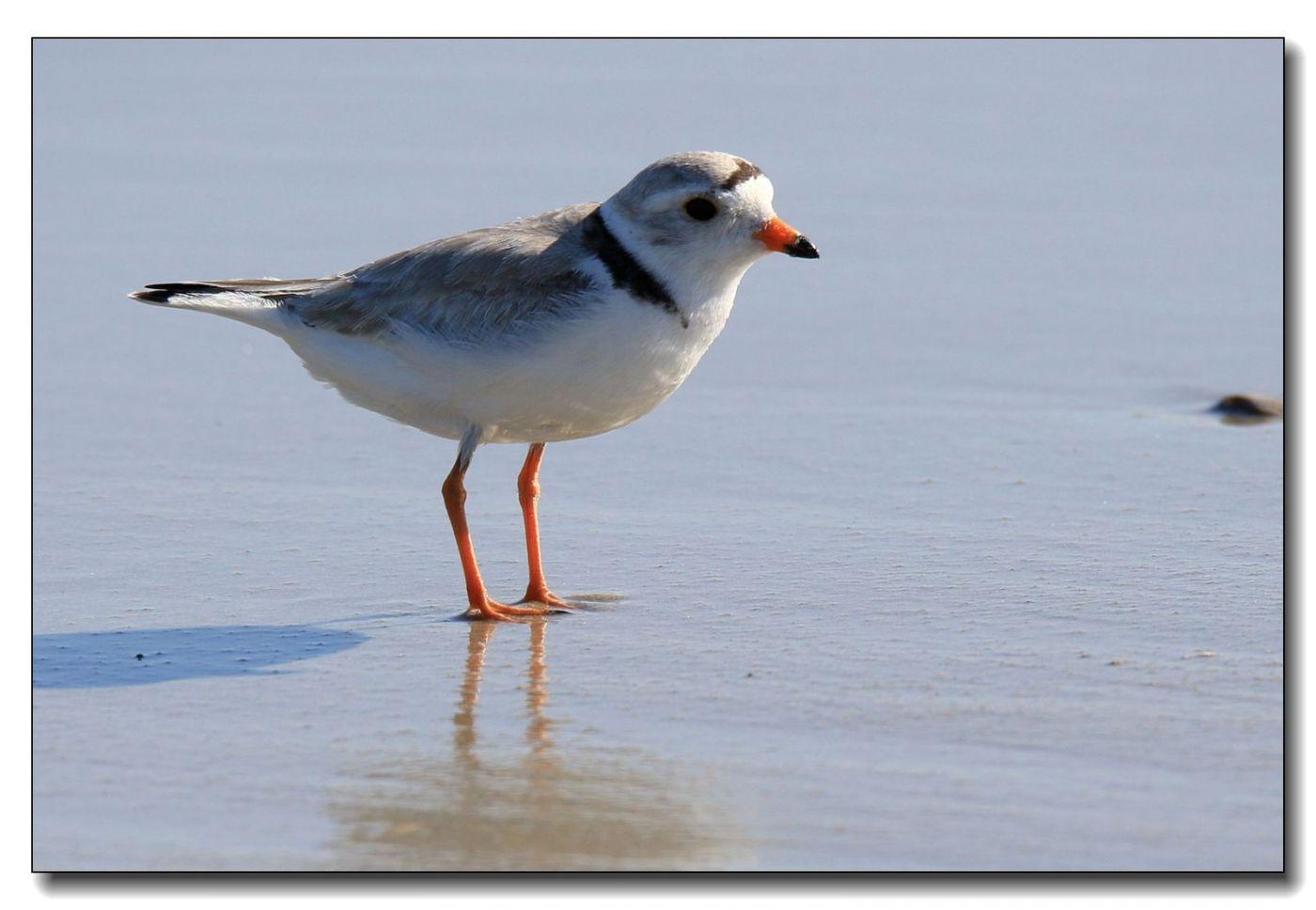 洛克威海滩拍鸟—环颈鸻_图1-7