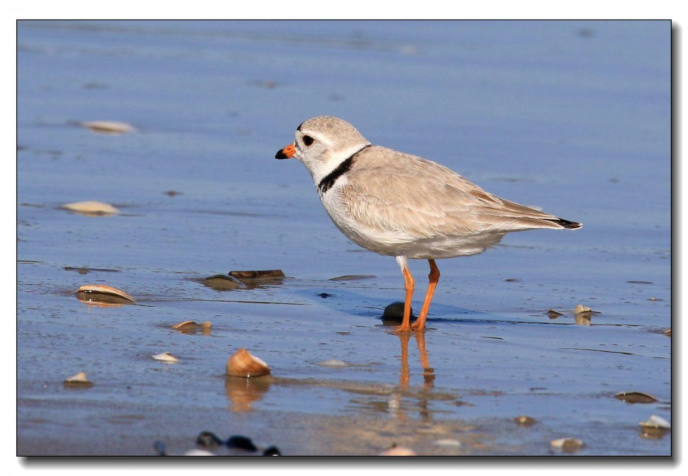 洛克威海滩拍鸟—环颈鸻_图1-8