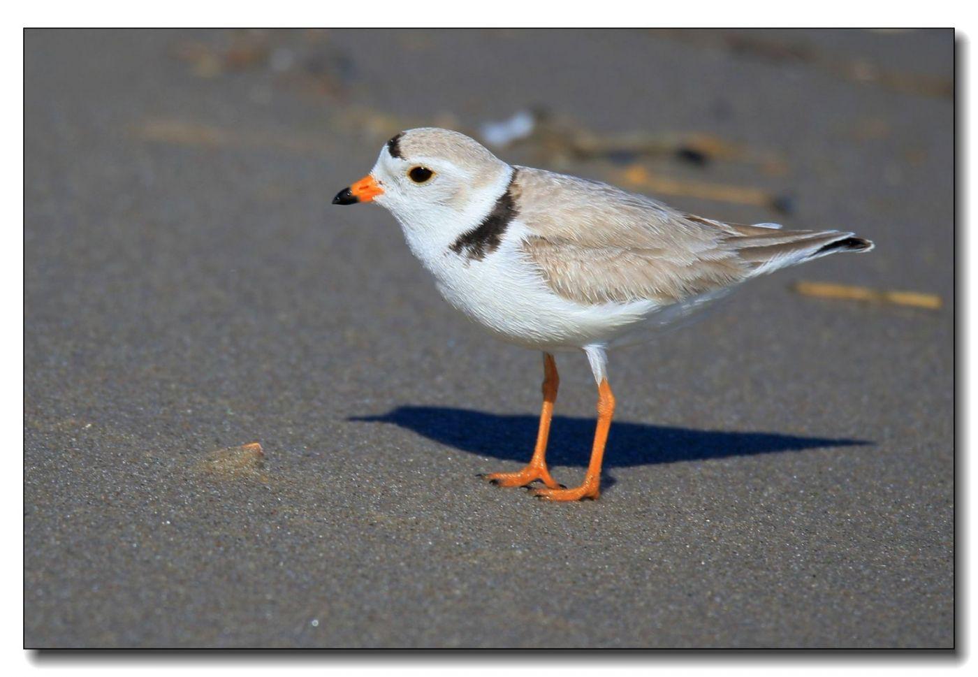 洛克威海滩拍鸟—环颈鸻_图1-9