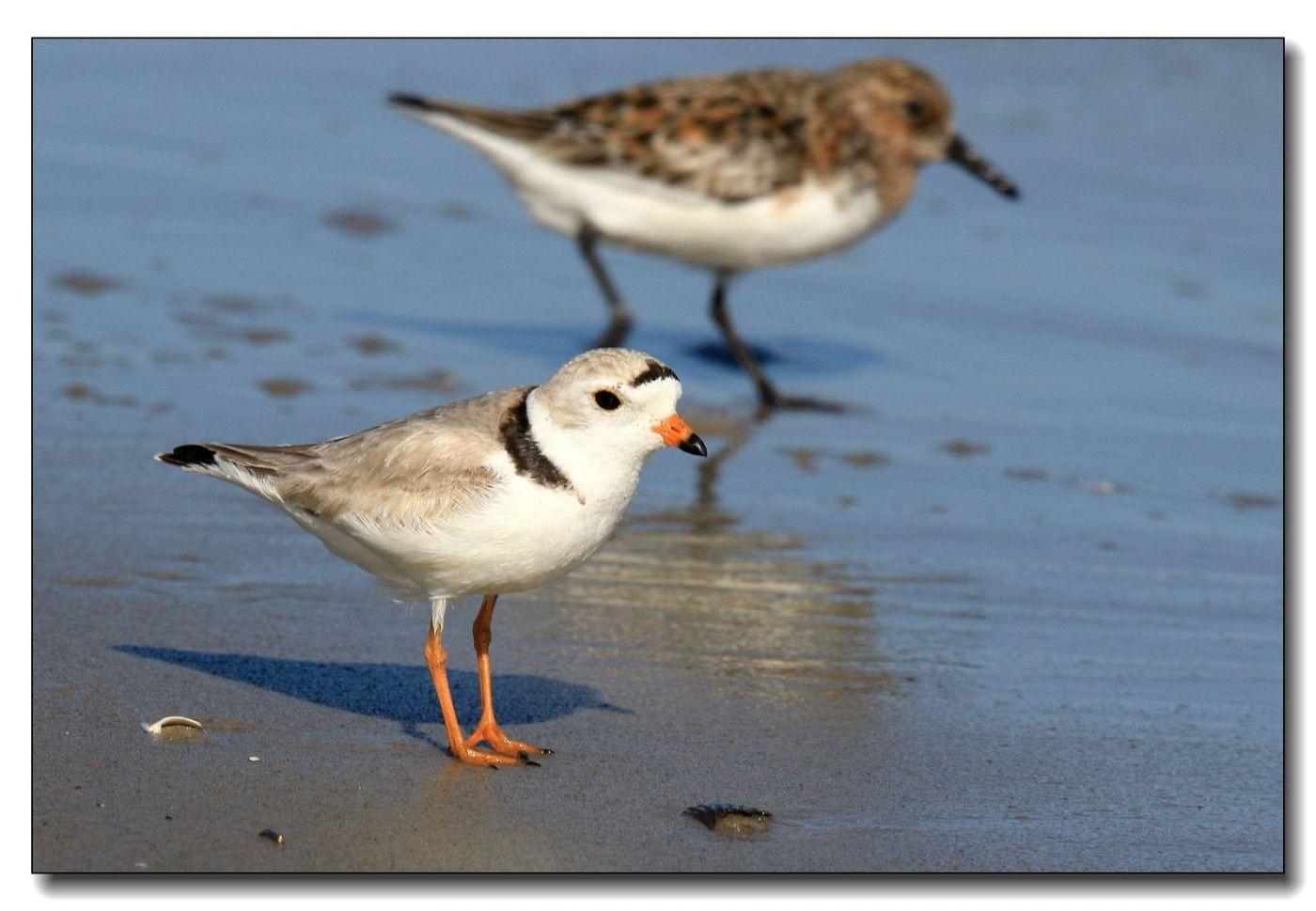洛克威海滩拍鸟—环颈鸻_图1-10