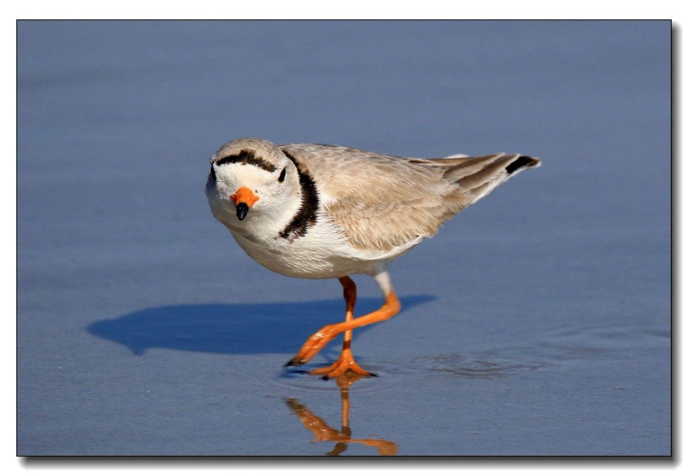 洛克威海滩拍鸟—环颈鸻_图1-11