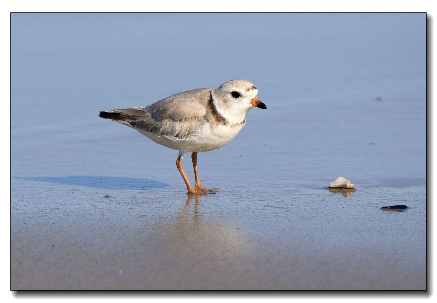 洛克威海滩拍鸟—环颈鸻_图1-12