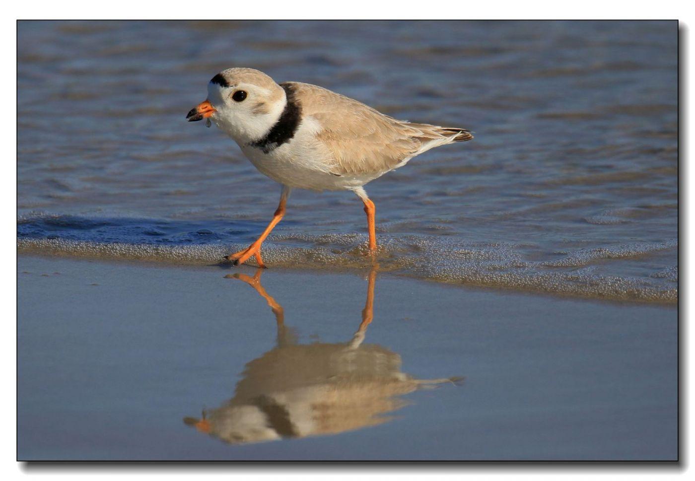 洛克威海滩拍鸟—环颈鸻_图1-14