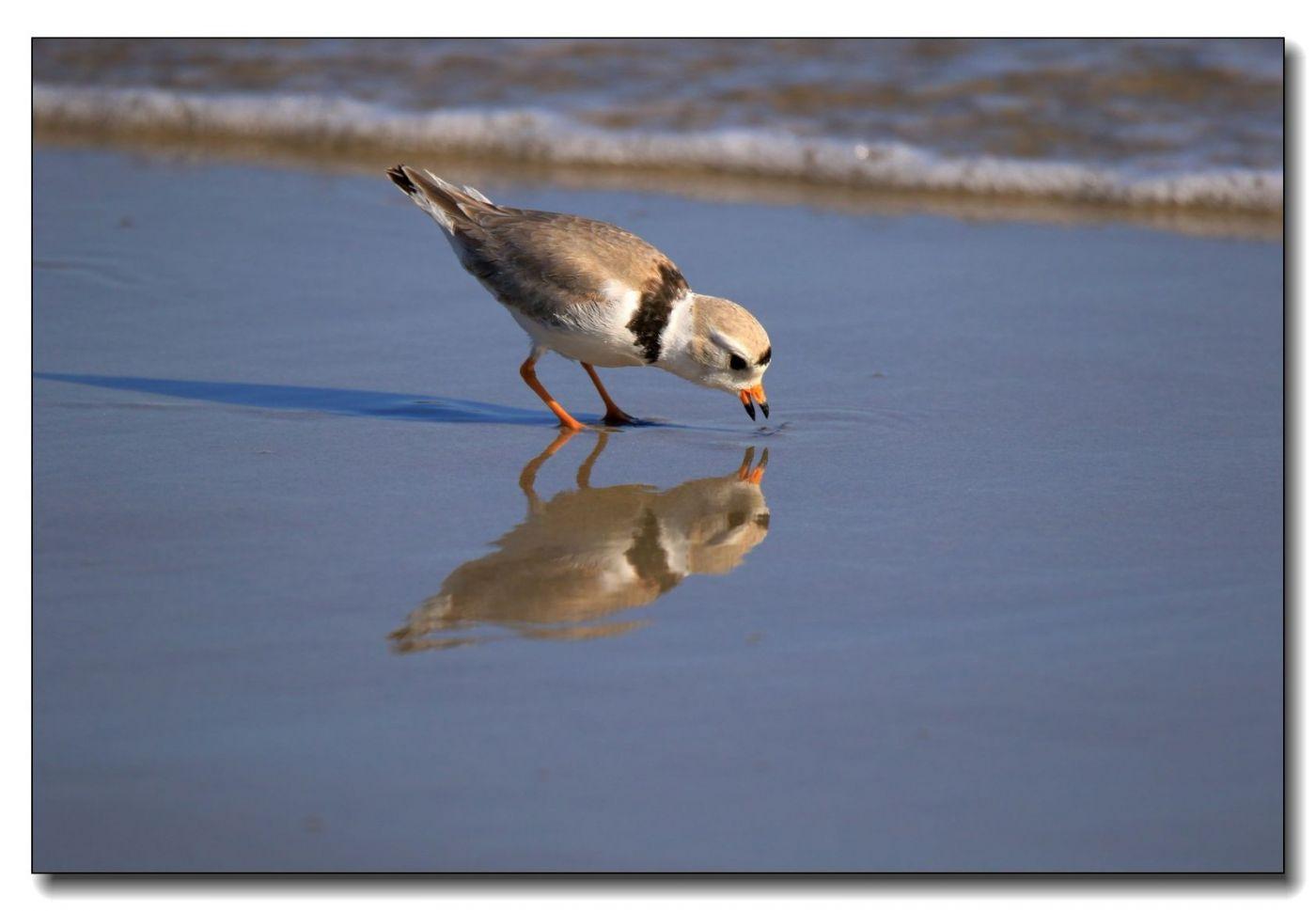 洛克威海滩拍鸟—环颈鸻_图1-15