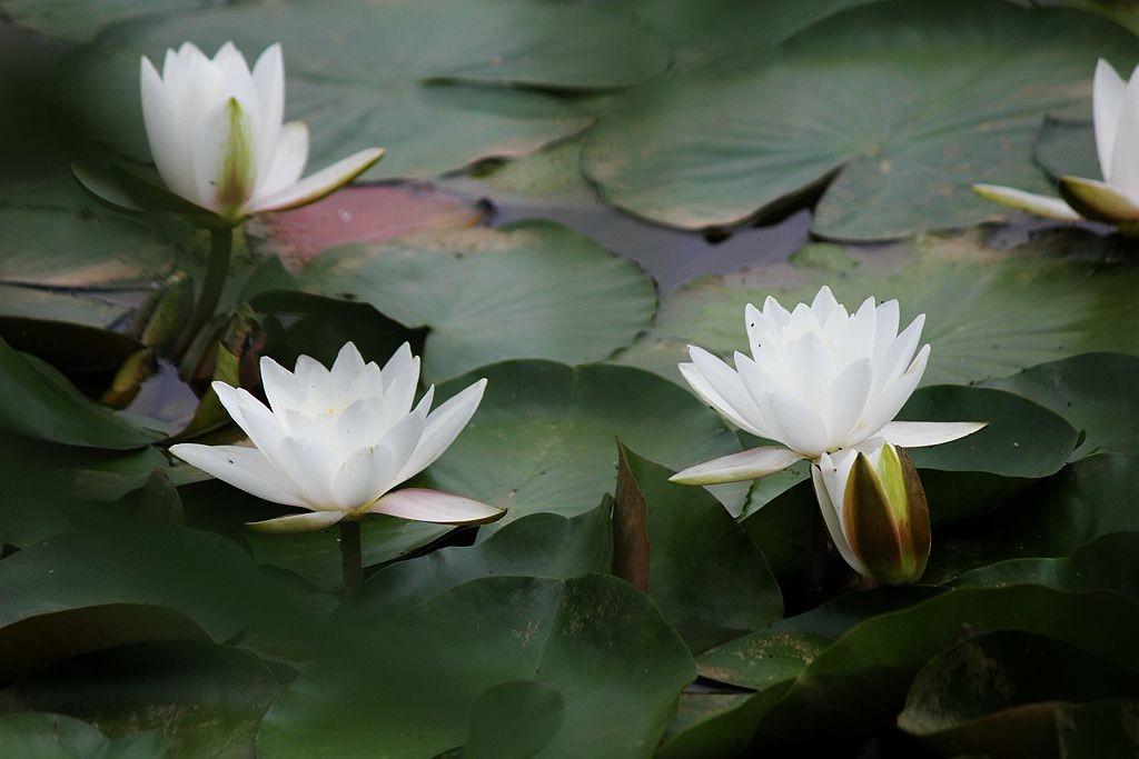 五月白睡莲_图1-4