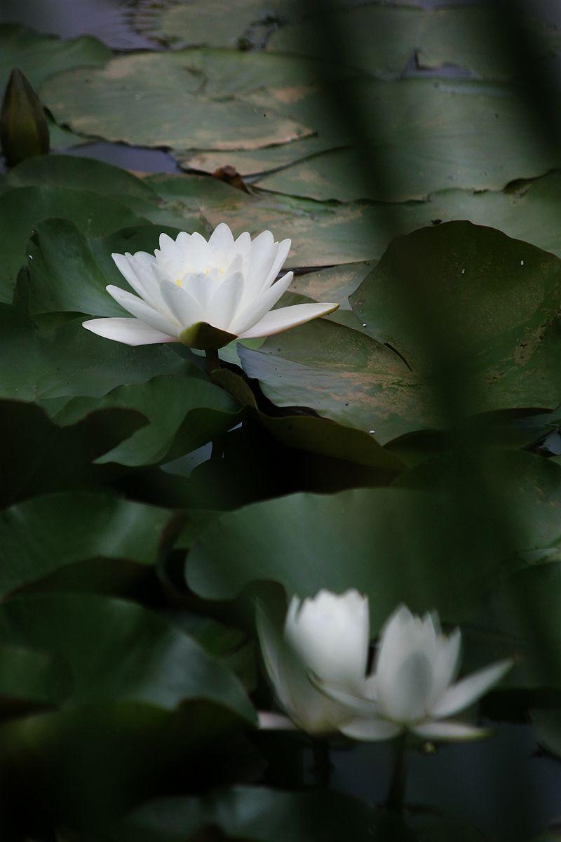 五月白睡莲_图1-5