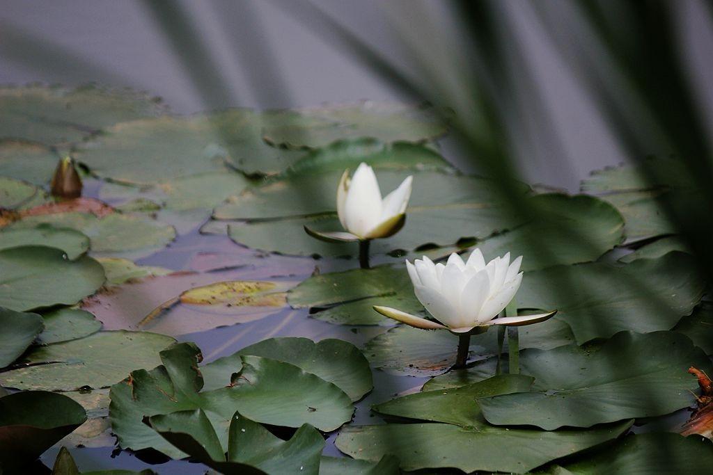 五月白睡莲_图1-6