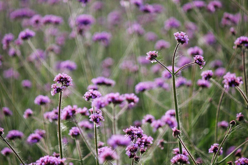 紫色花海_图1-3