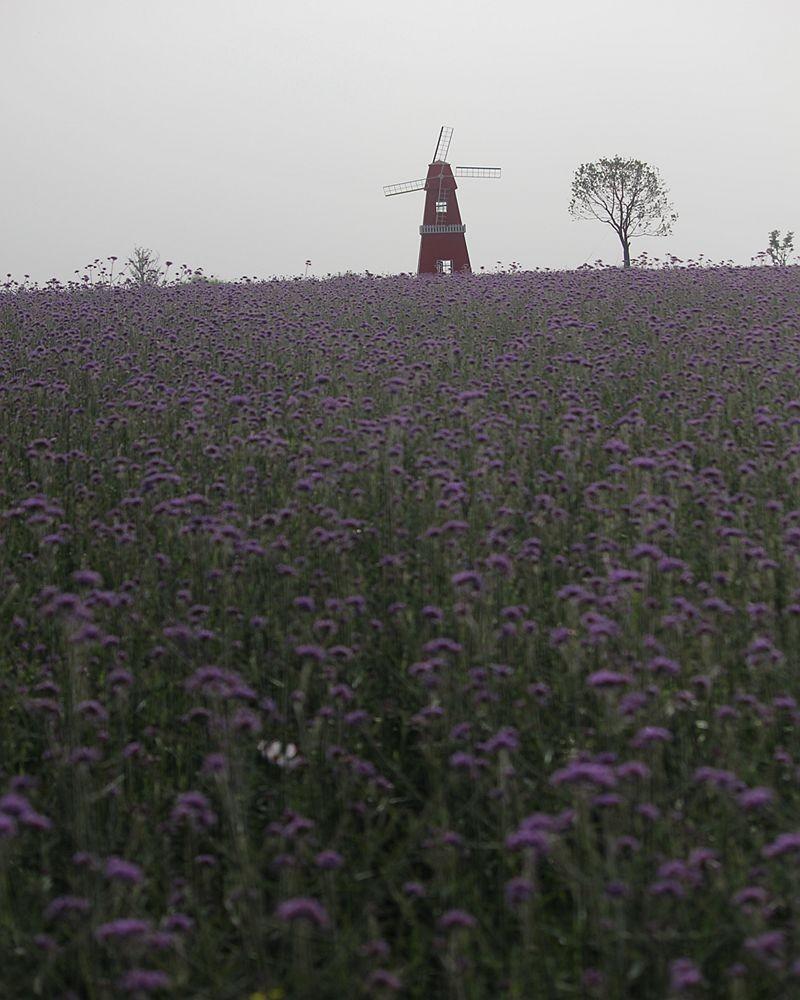 紫色花海_图1-8