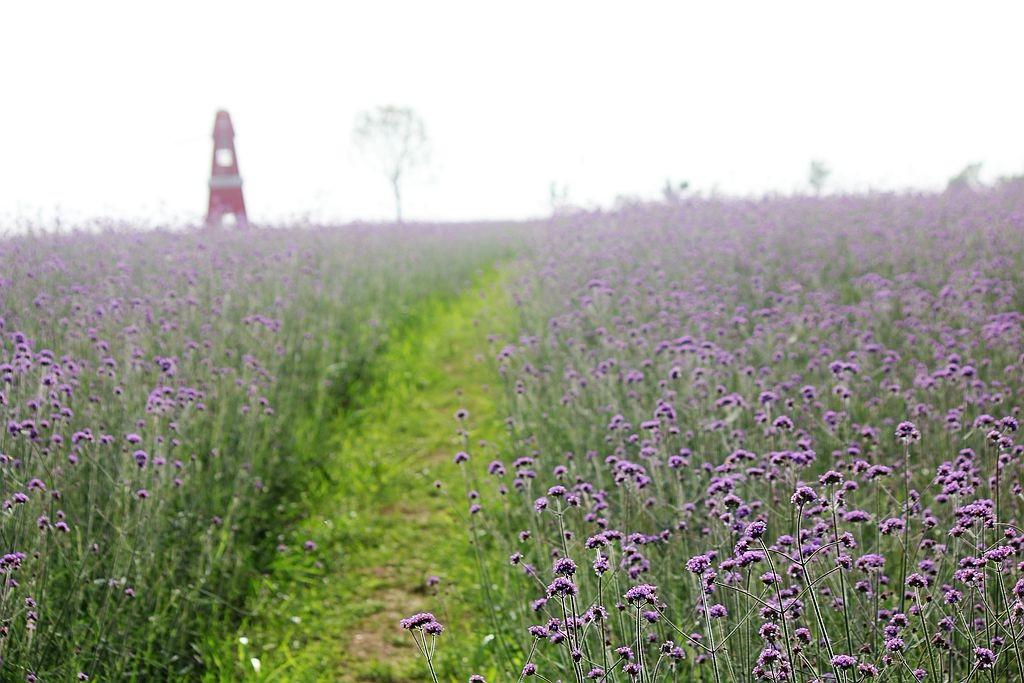 紫色花海_图1-5