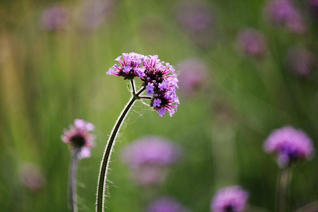 紫色花海_图1-7