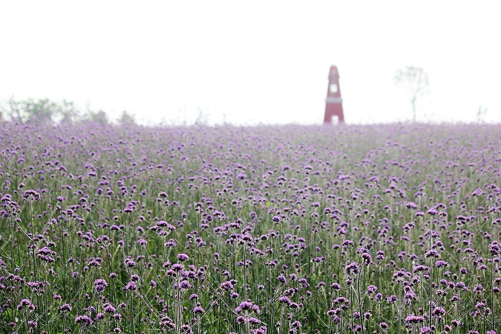紫色花海_图1-11