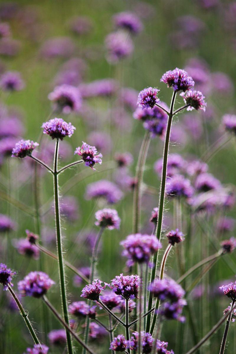 紫色花海_图1-13