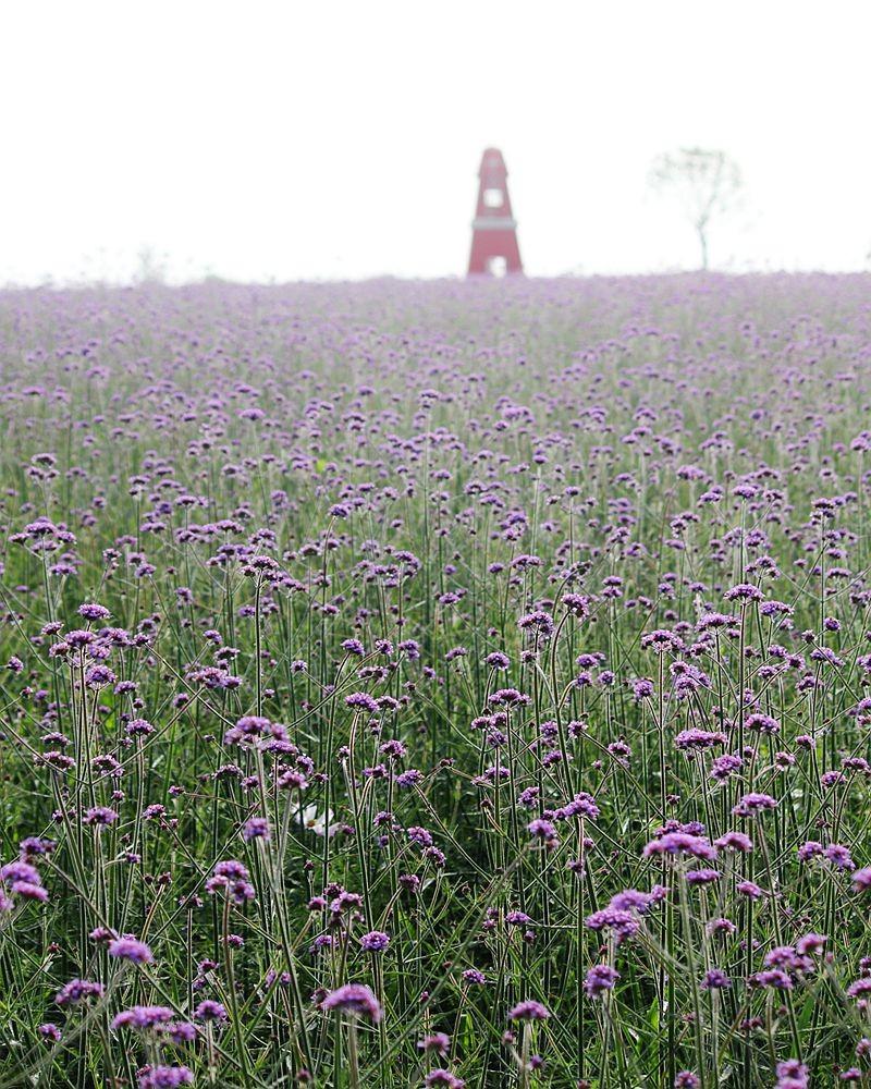 紫色花海_图1-14