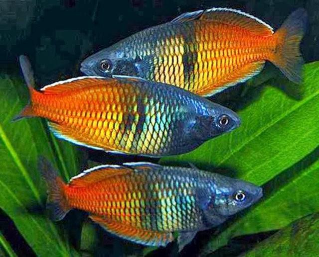 夏威夷的观赏鱼_图1-2