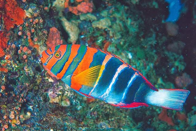 夏威夷的观赏鱼_图1-5