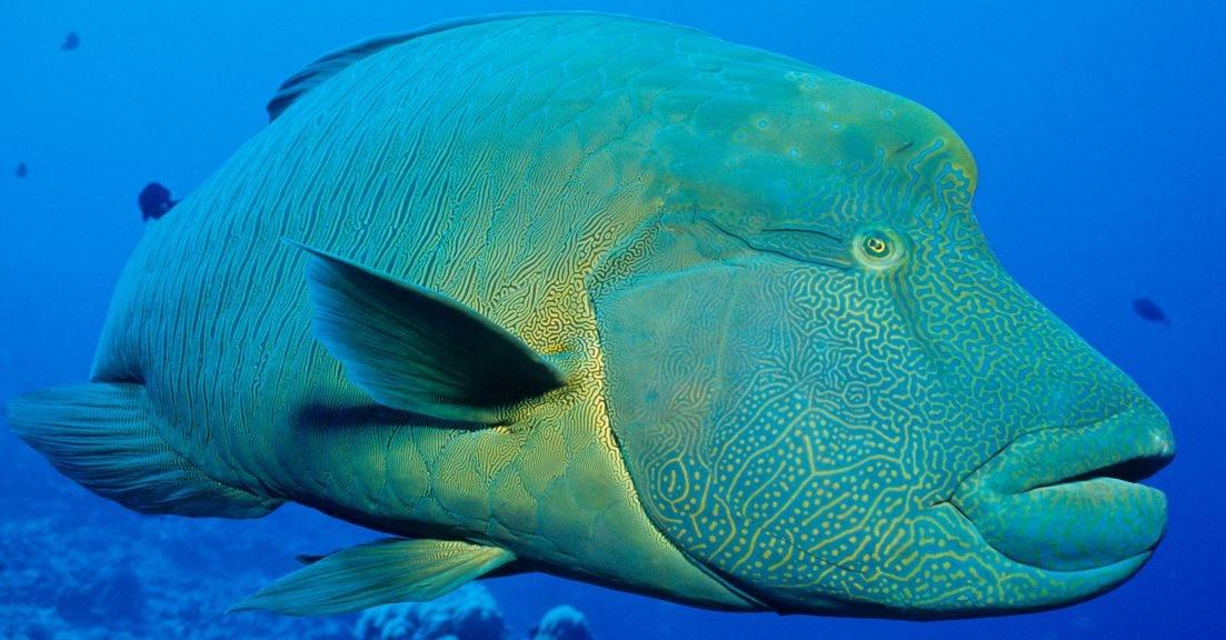 夏威夷的观赏鱼_图1-9