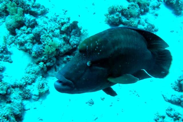 夏威夷的观赏鱼_图1-12