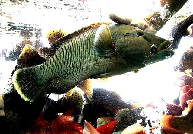 夏威夷的观赏鱼_图1-15