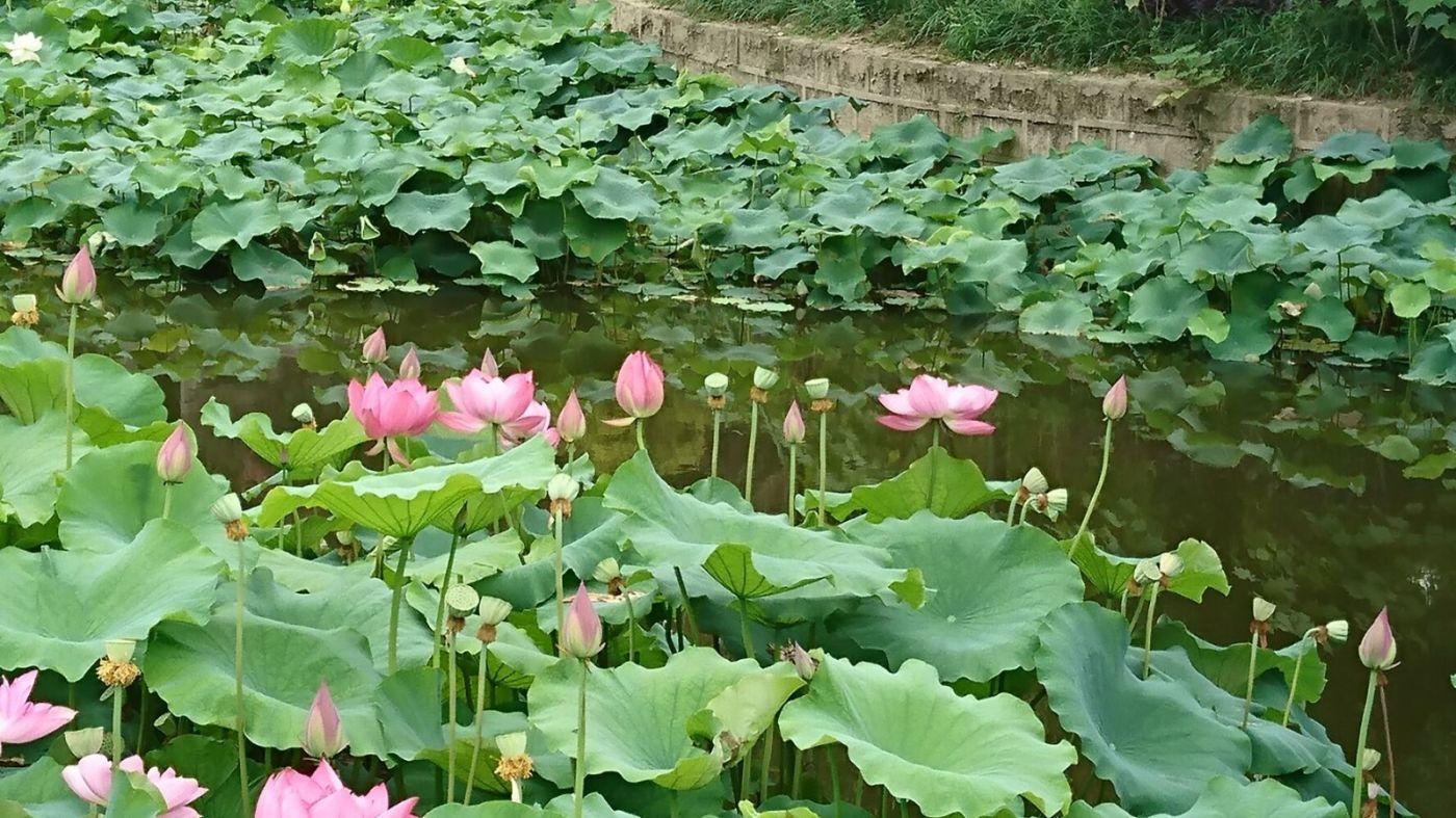 成都文化公园看荷花,百花坛公园呼吸新鲜空气!_图1-8