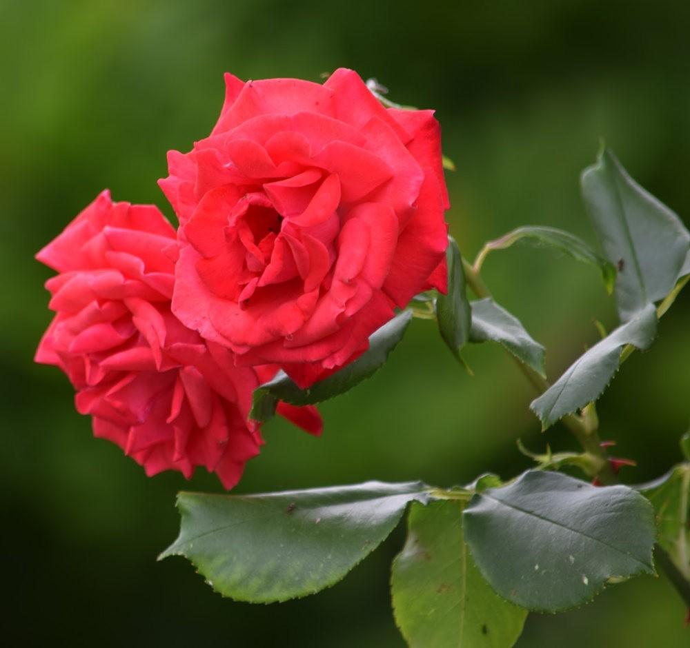 皇家植物园玫瑰丰盈_图1-3