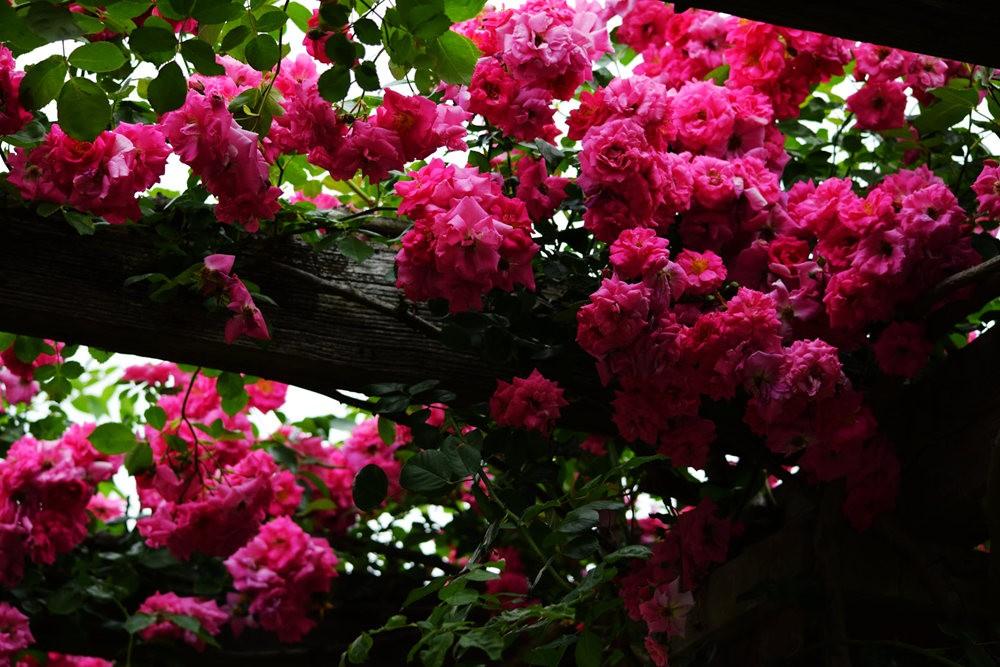 皇家植物园玫瑰丰盈_图1-7
