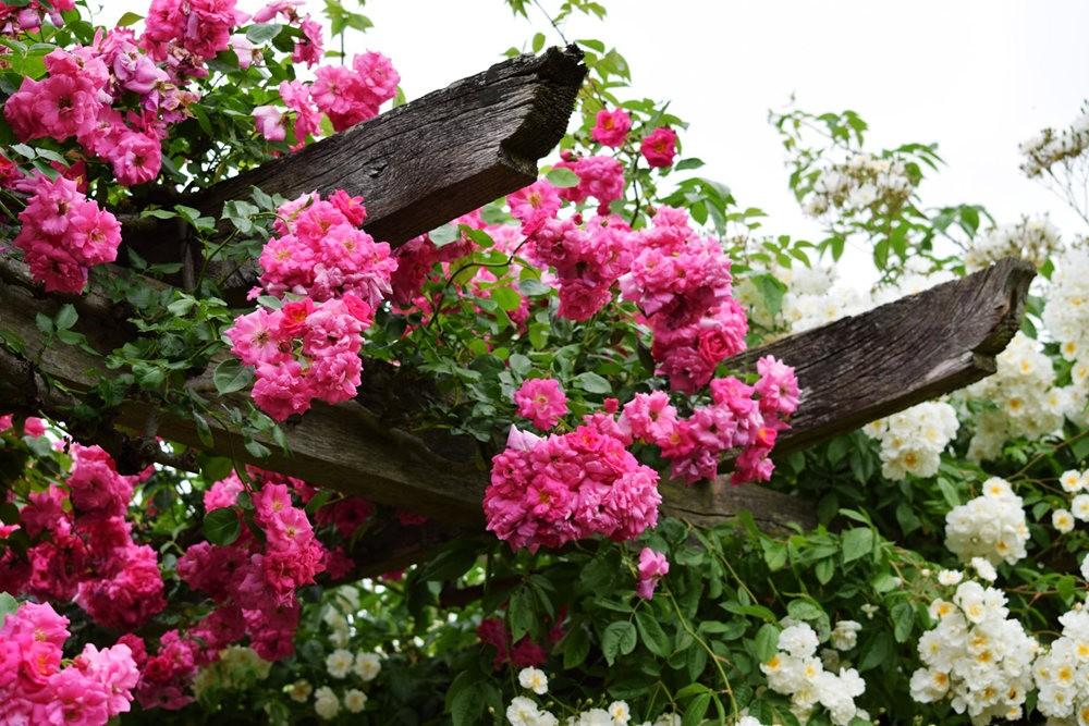 皇家植物园玫瑰丰盈_图1-8