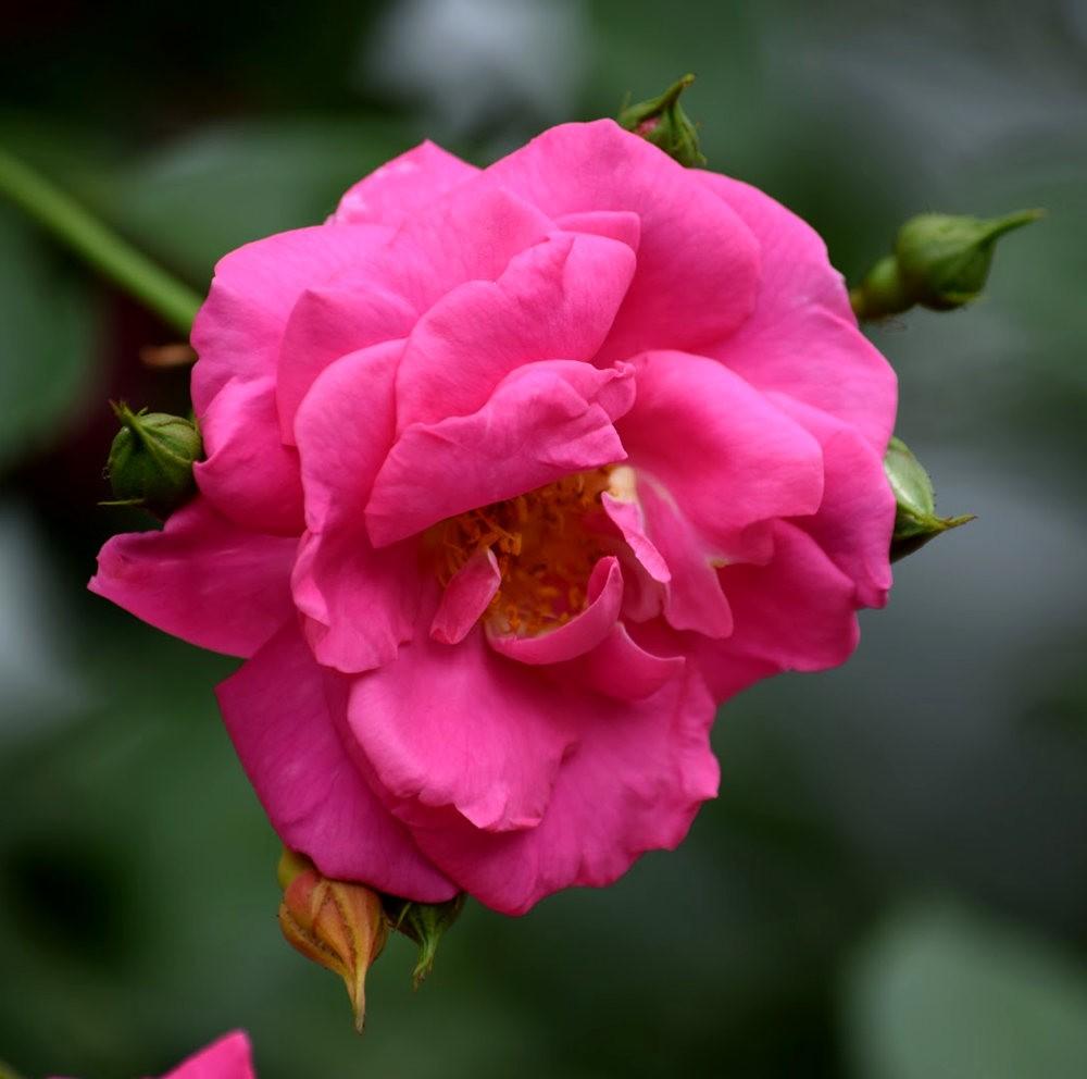 皇家植物园玫瑰丰盈_图1-9