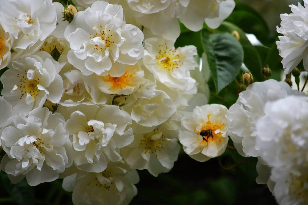 皇家植物园玫瑰丰盈_图1-10