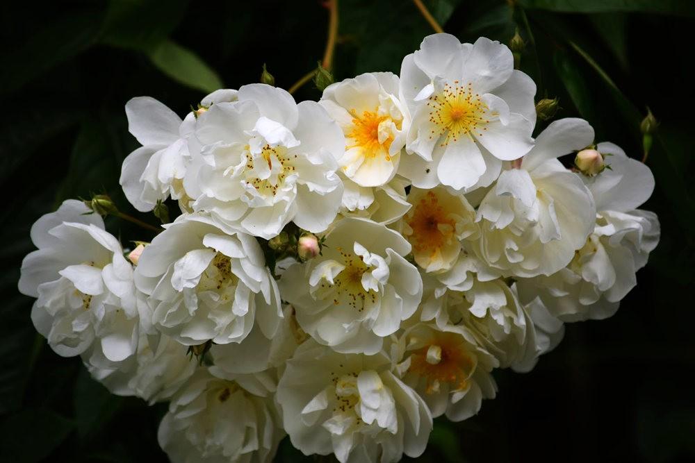 皇家植物园玫瑰丰盈_图1-13