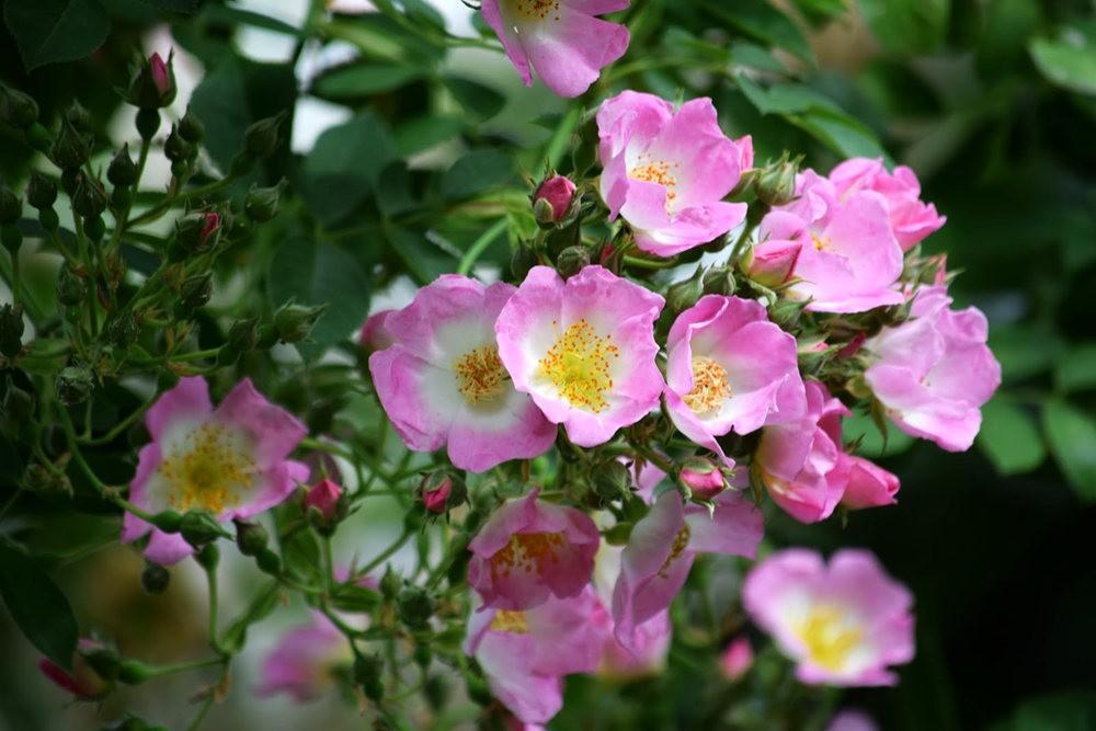 皇家植物园玫瑰丰盈_图1-14