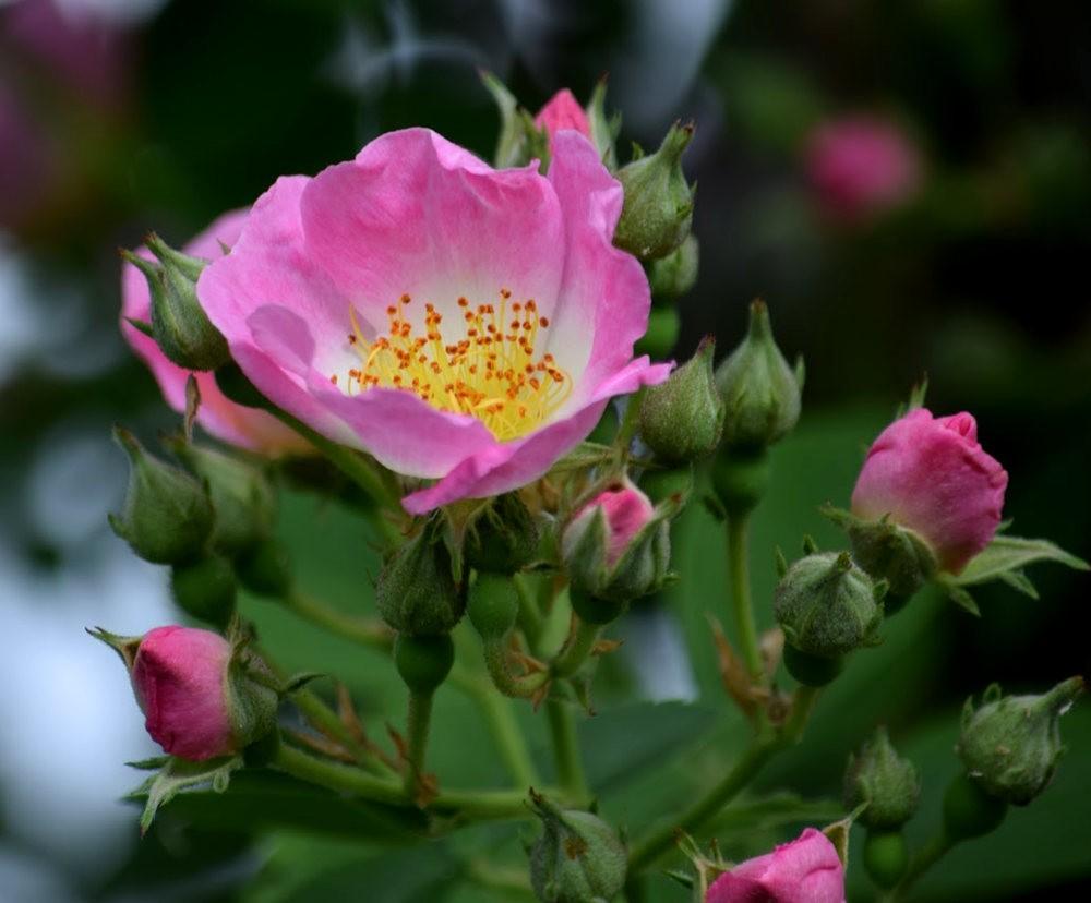 皇家植物园玫瑰丰盈_图1-15