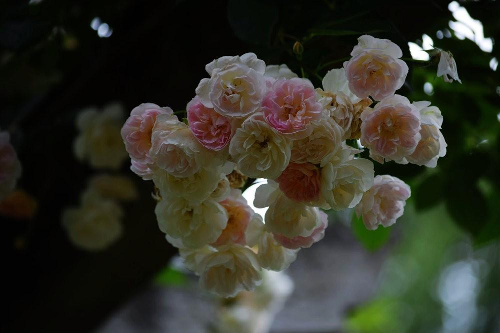 皇家植物园玫瑰丰盈_图1-16