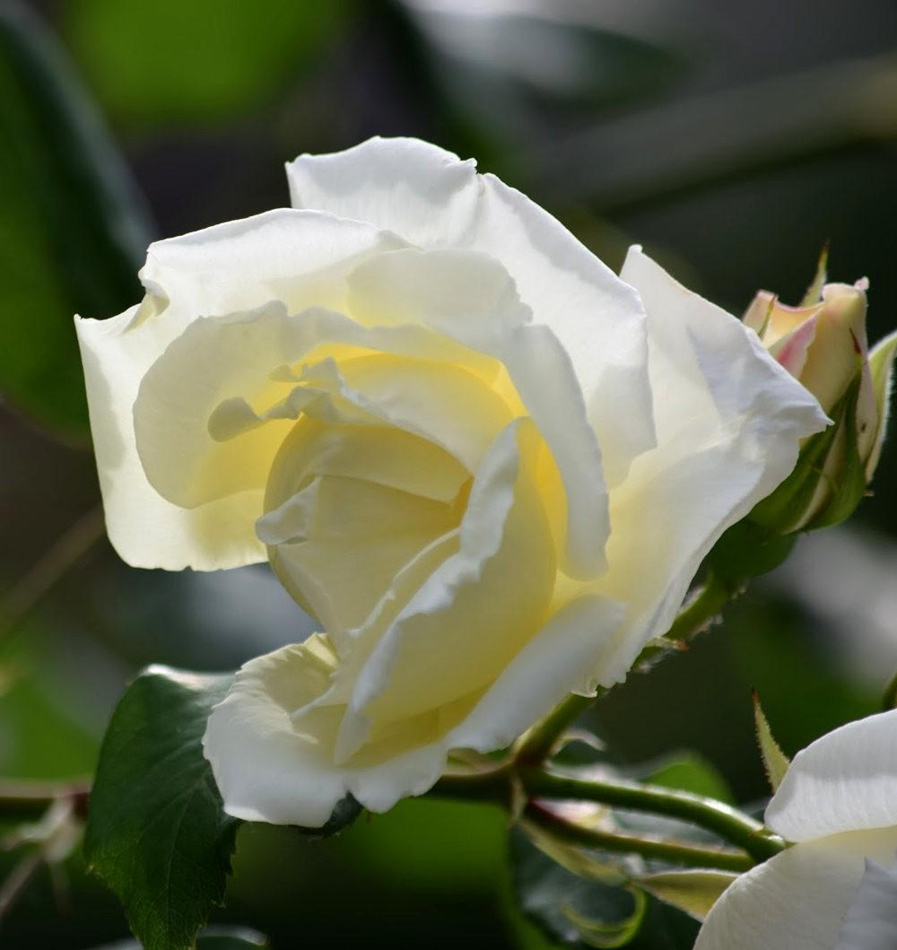 皇家植物园玫瑰丰盈_图1-17