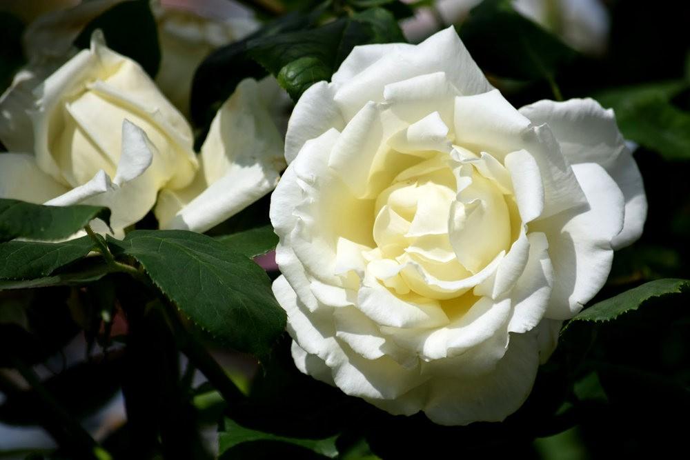 皇家植物园玫瑰丰盈_图1-18
