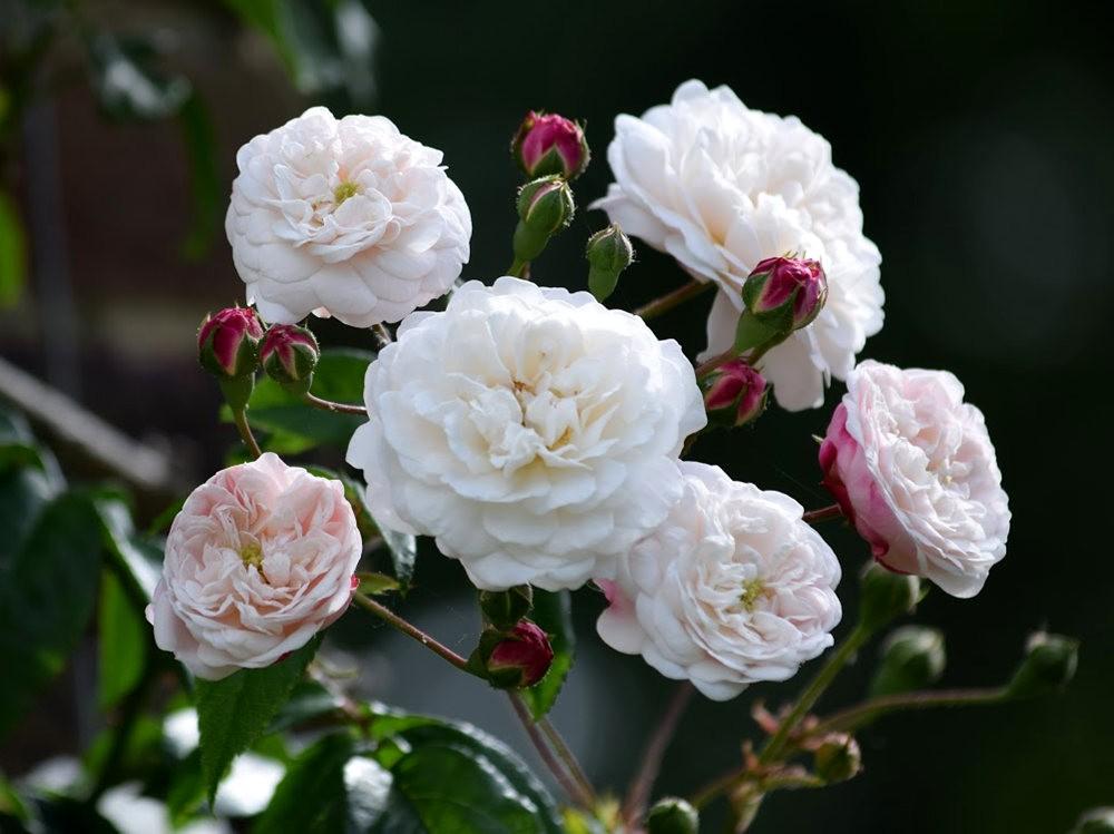 皇家植物园玫瑰丰盈_图1-20