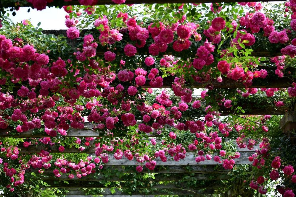 皇家植物园玫瑰丰盈_图1-21