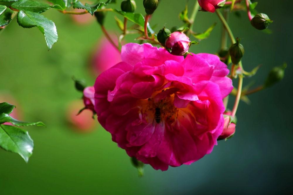 皇家植物园玫瑰丰盈_图1-22
