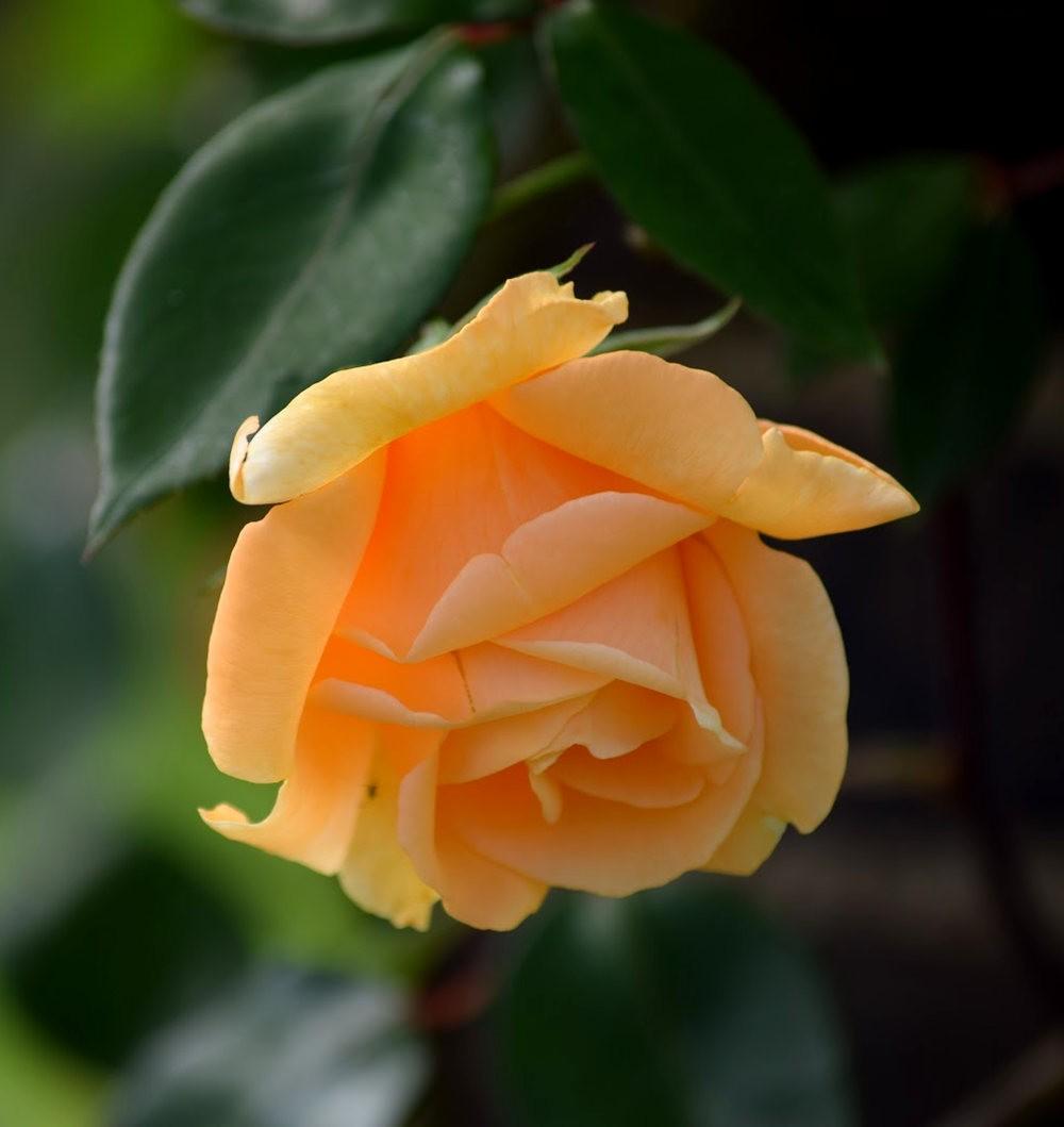 皇家植物园玫瑰丰盈_图1-25