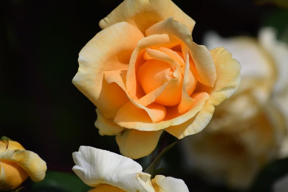 皇家植物园玫瑰丰盈_图1-26