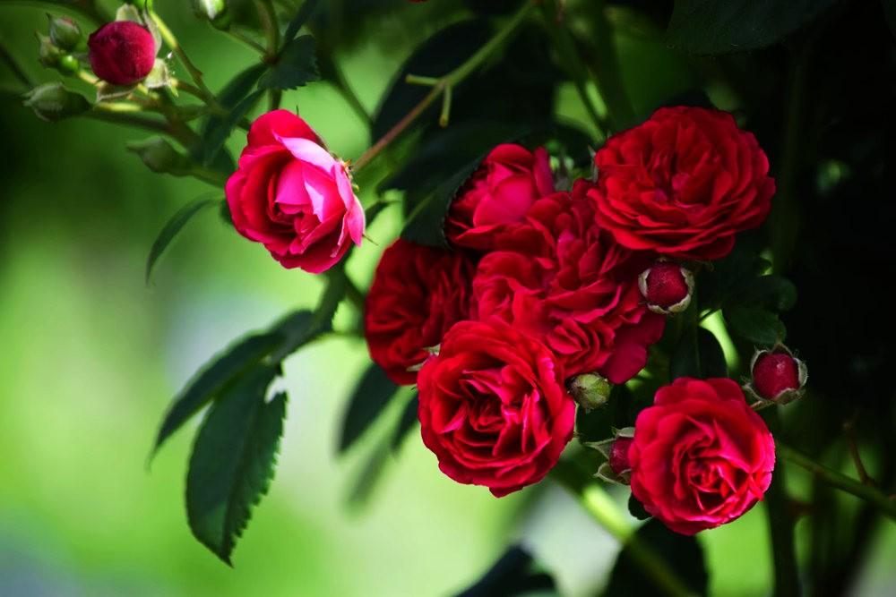 皇家植物园玫瑰丰盈_图1-27