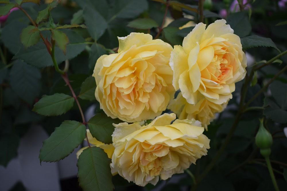 皇家植物园玫瑰丰盈_图1-28