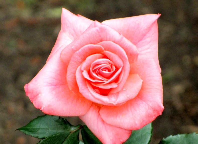 皇家植物园玫瑰丰盈_图1-29