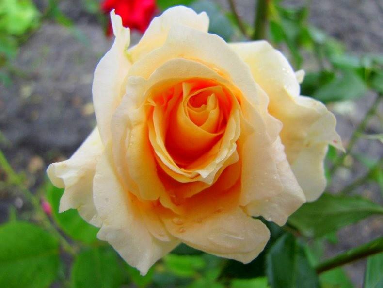 皇家植物园玫瑰丰盈_图1-30