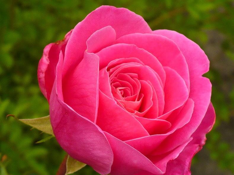 皇家植物园玫瑰丰盈_图1-31