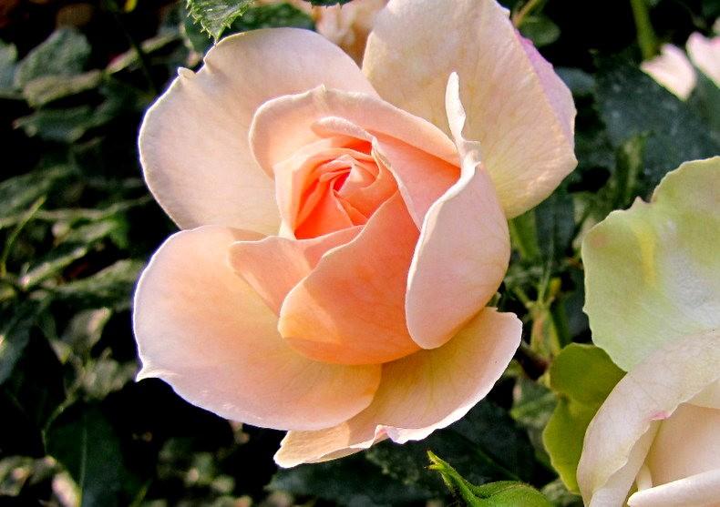 皇家植物园玫瑰丰盈_图1-32