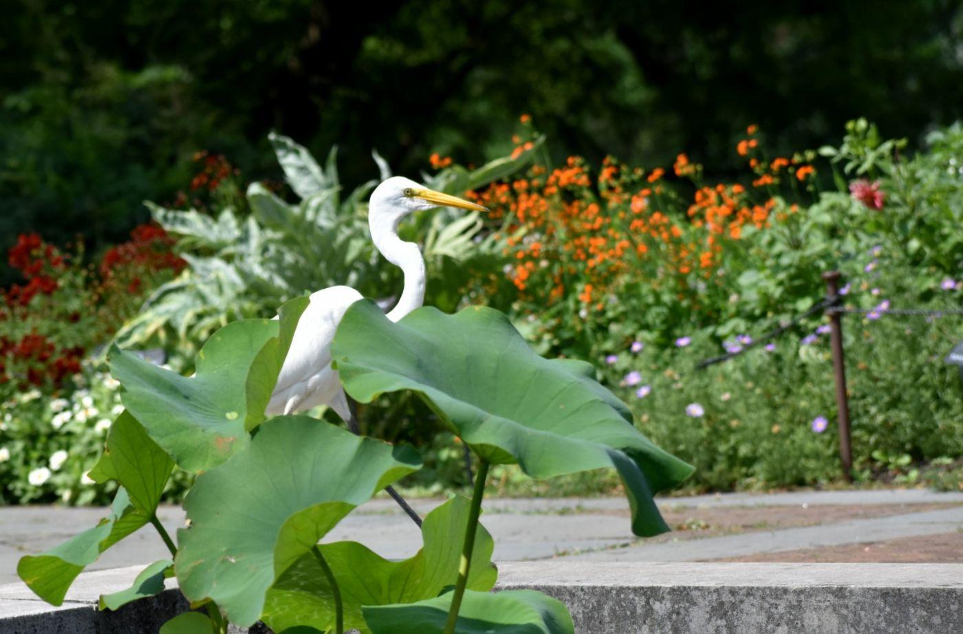 白鹭来花园赏花_图1-4