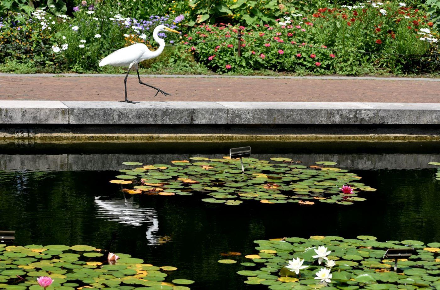 白鹭来花园赏花_图1-16
