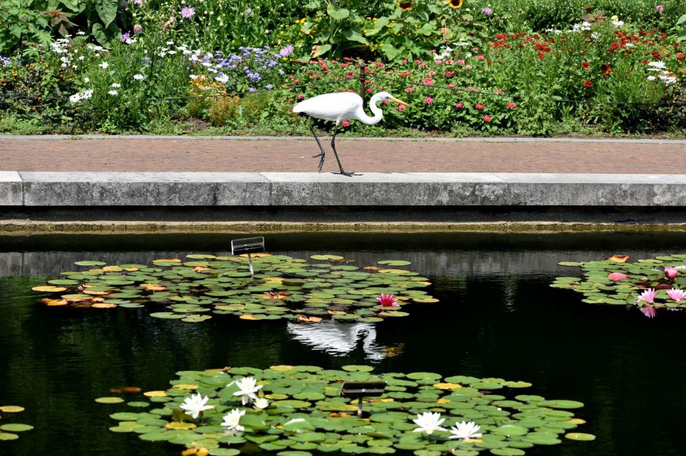 白鹭来花园赏花_图1-18
